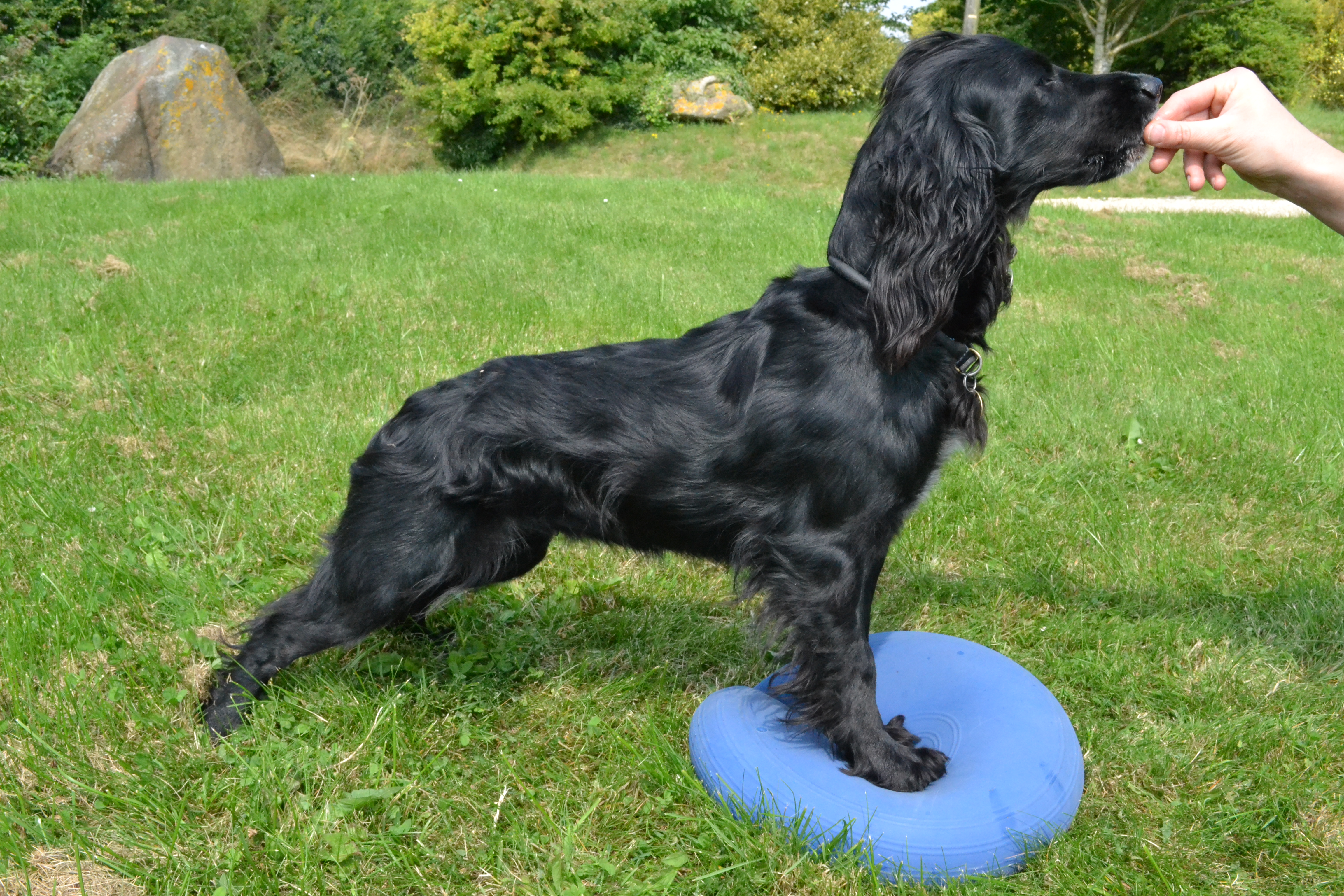 Dog on wobble cushtion to improve proprioception and core stability